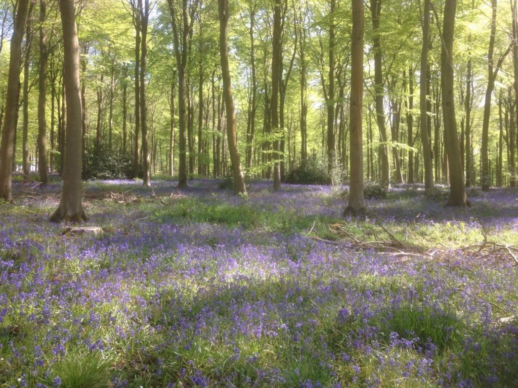 bluebell woods near manor farm